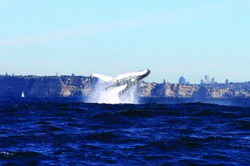 Sydney Combo: Whale-Watching Cruise and Sydney Attraction Pass