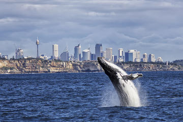 Sydney High-Speed Whale-Watching and Sightseeing Cruise