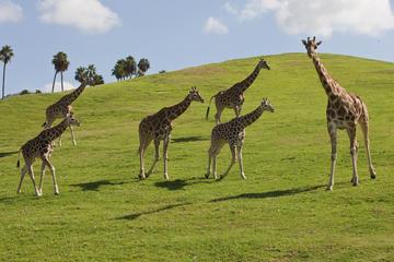 Theme Park Transportation: San Diego Safari Park