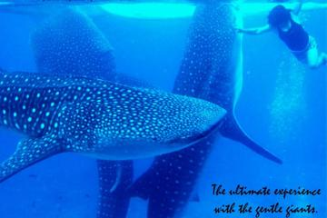 Whale Shark Swimming Experience and Tumalog Falls from Cebu