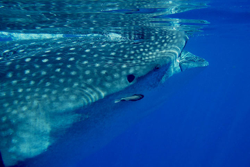 Whale Shark Tour from Cancun and Riviera Maya