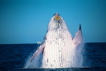 Whale Watching Cruise from Mooloolaba