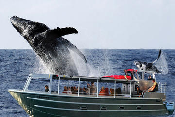 Whale Watching from Hilo: Dawn, Brunch or Sunset Cruise