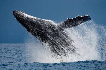 Whale Watching: Humpback Whales in Cabo San Lucas