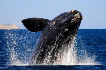 Whale Watching Tour to Hermanus from Cape Town